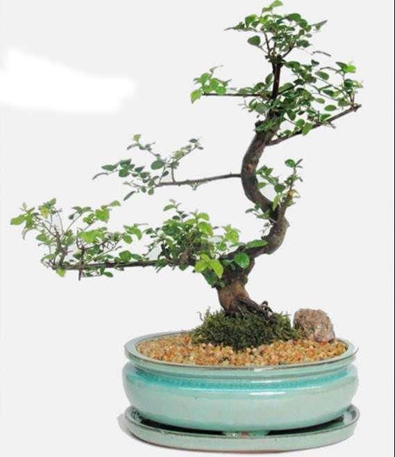 cây cảnh bonsai