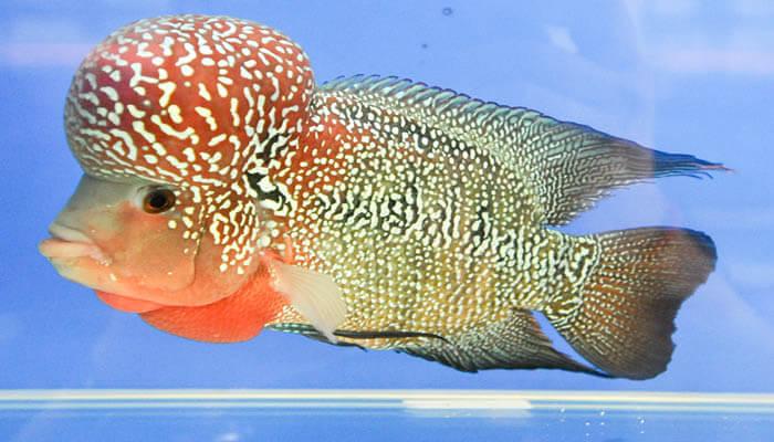 cá la hán đẹp dễ nuôi
