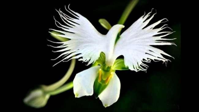 Hoa Habenaria (Hoa cò trắng)