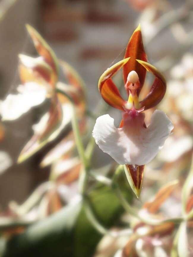 """Hoa Peristeria Elata """"hoa bồ câu"""""""