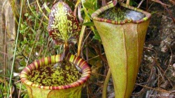 Hoa nắp ấm khổng lồ (Nepenthes attenboroughii)