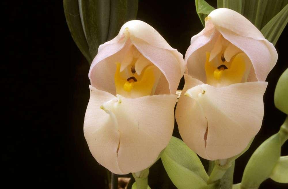 "Hoa Anguloa Uniflora ""Hoa đứa bé sơ sinh"""