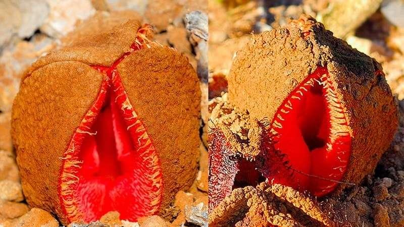 Hoa Hydnora ở châu Phi