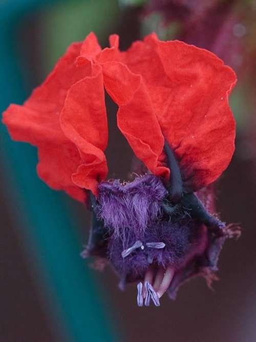 Hoa mặt dơi (Cuphea llavea)
