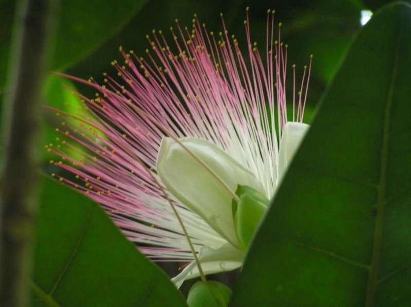 Sea Poison Tree (Barringtonia asiatica)