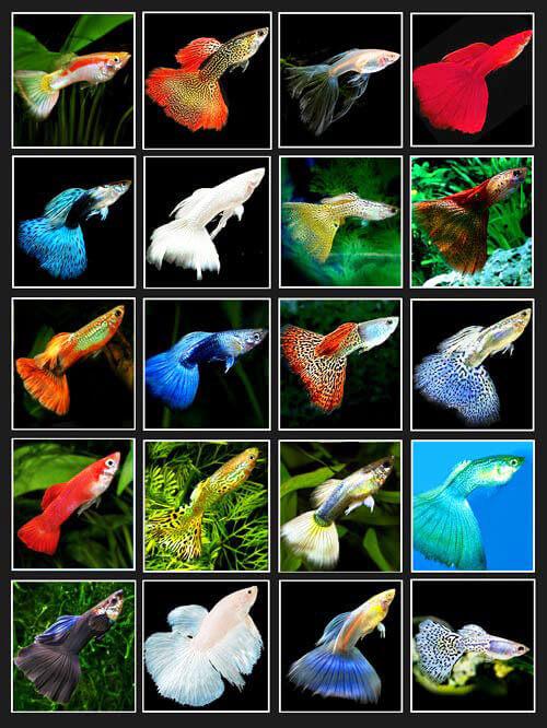 các loại cá bảy màu