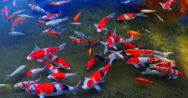 cá Koi Nhật Bản