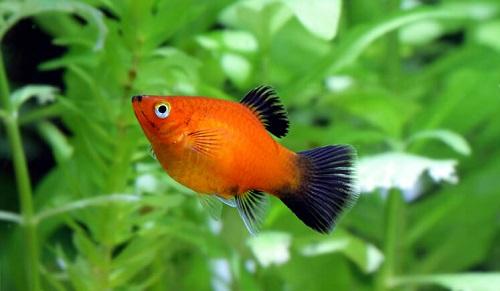 cá mún đỏ