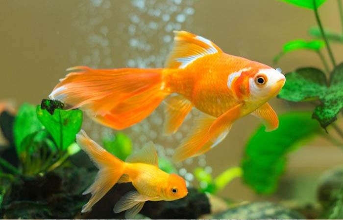 cá vàng dễ nuôi nhất