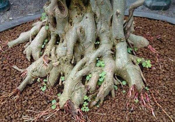 uốn rễ cây