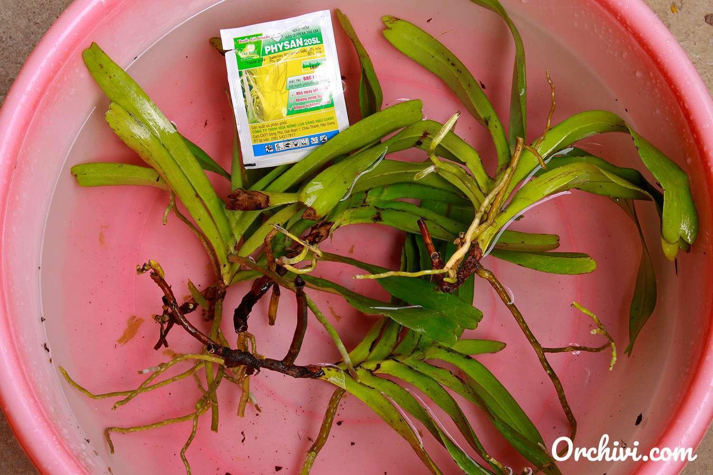 cách trồng lan giáng hương tam bảo sắc