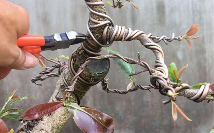 cành cây cảnh bonsai