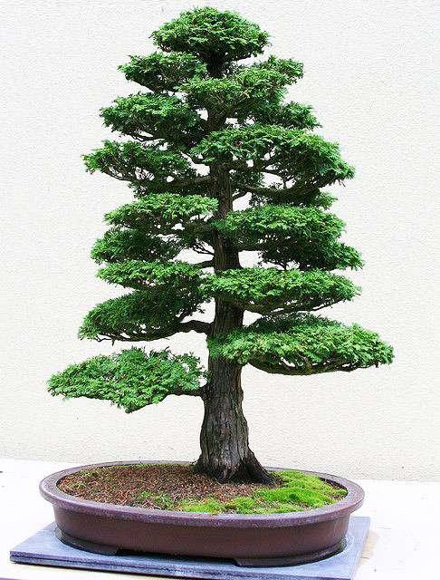 cây  bonsai dáng trực đẹp