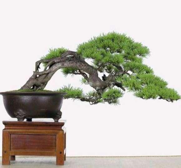 cây cảnh dáng hoành