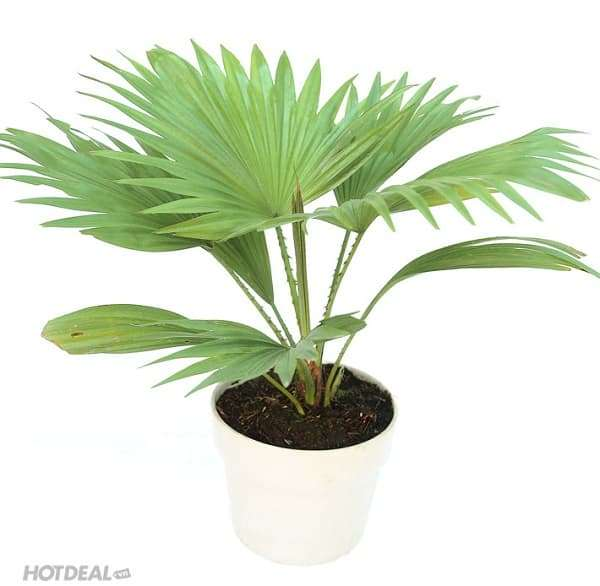 35 loài cây phong thủy trồng trong nhà giúp gia chủ hút tài lộc