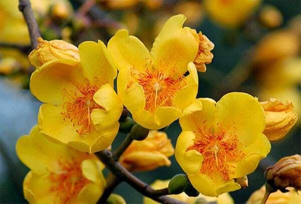 hoa mai miến điện