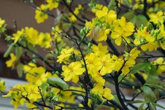 hoa mai truyền thống