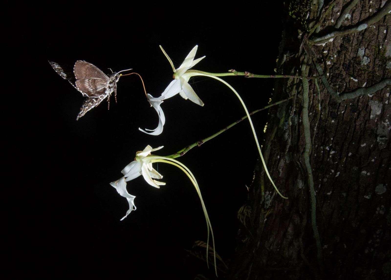 Phong lan ma (Dendrophylax lindenii)