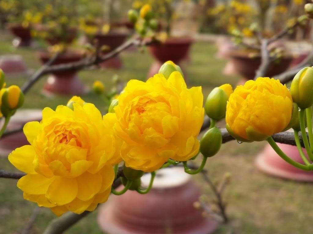 hoa mai cúc