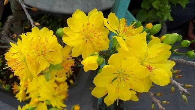 hoa mai đại lộc