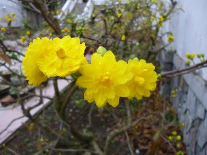 hoa mai tầm gửi