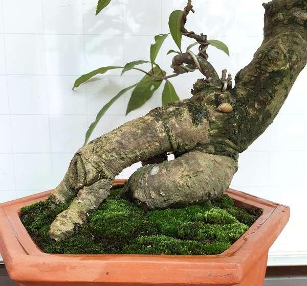 thân cây cảnh bonsai