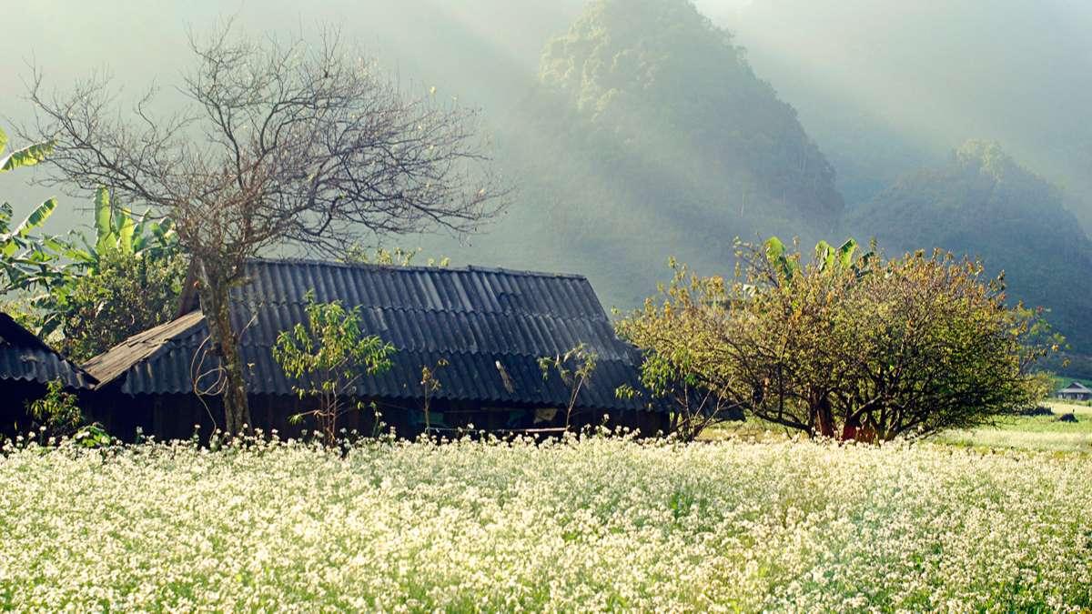 vườn hoa cải trắng xóa